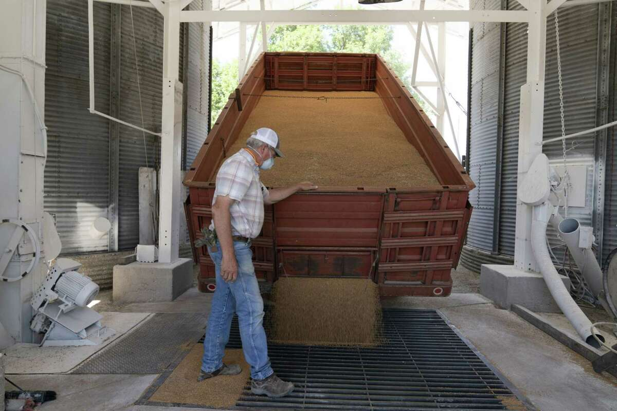 A worker wearing a protective mask monitors winter wheat being emptied from a truck at a grain elevator in Pawnee, Okla., on June 24, 2020.