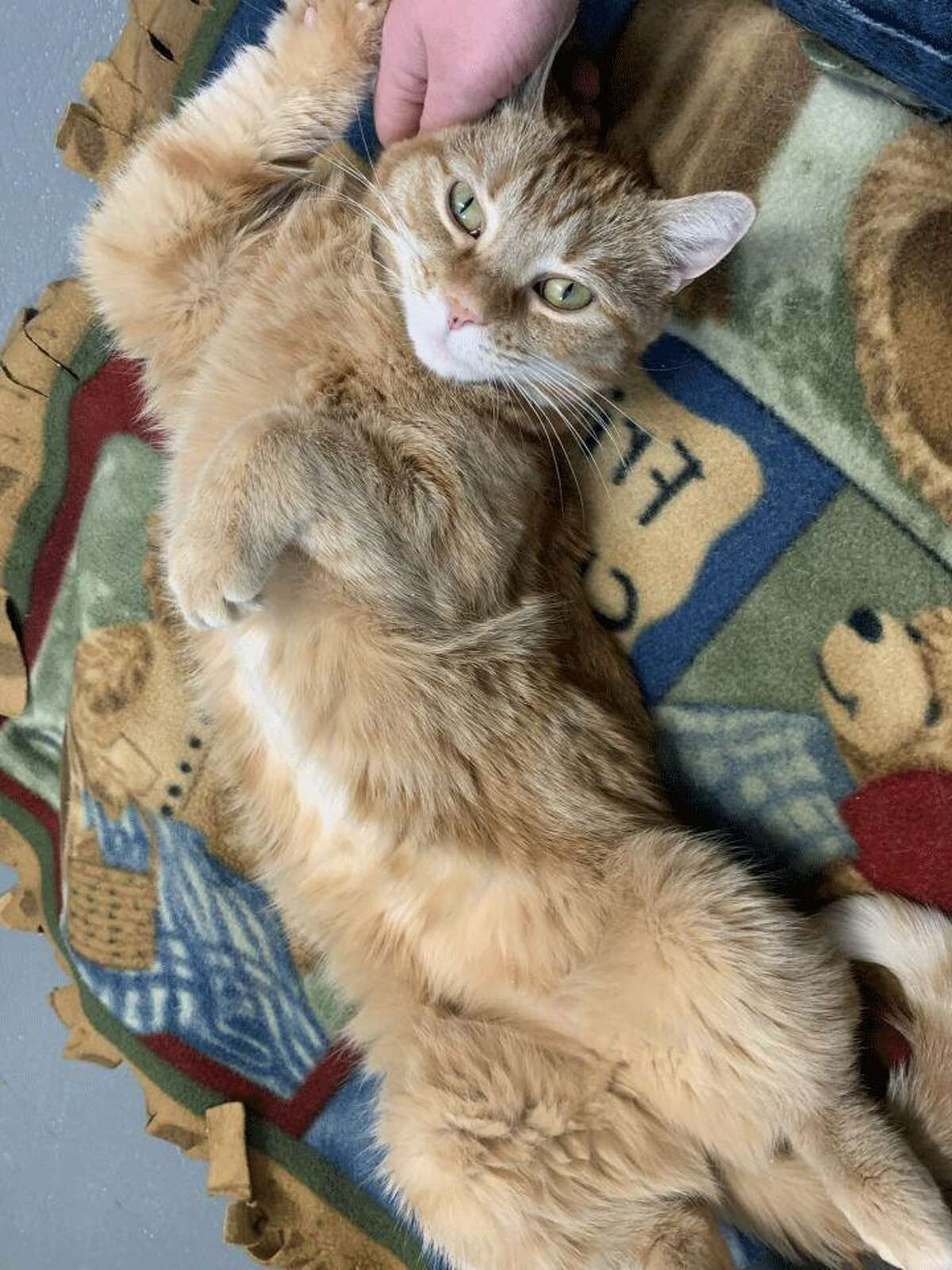 Mini, a tabby cat, needs a quiet home. She is available to be met by calling the ROAR Donofrio Family Animal Shelter, located at 45 South Street, in Ridgefield, at 203-438-0158, for an appointment.