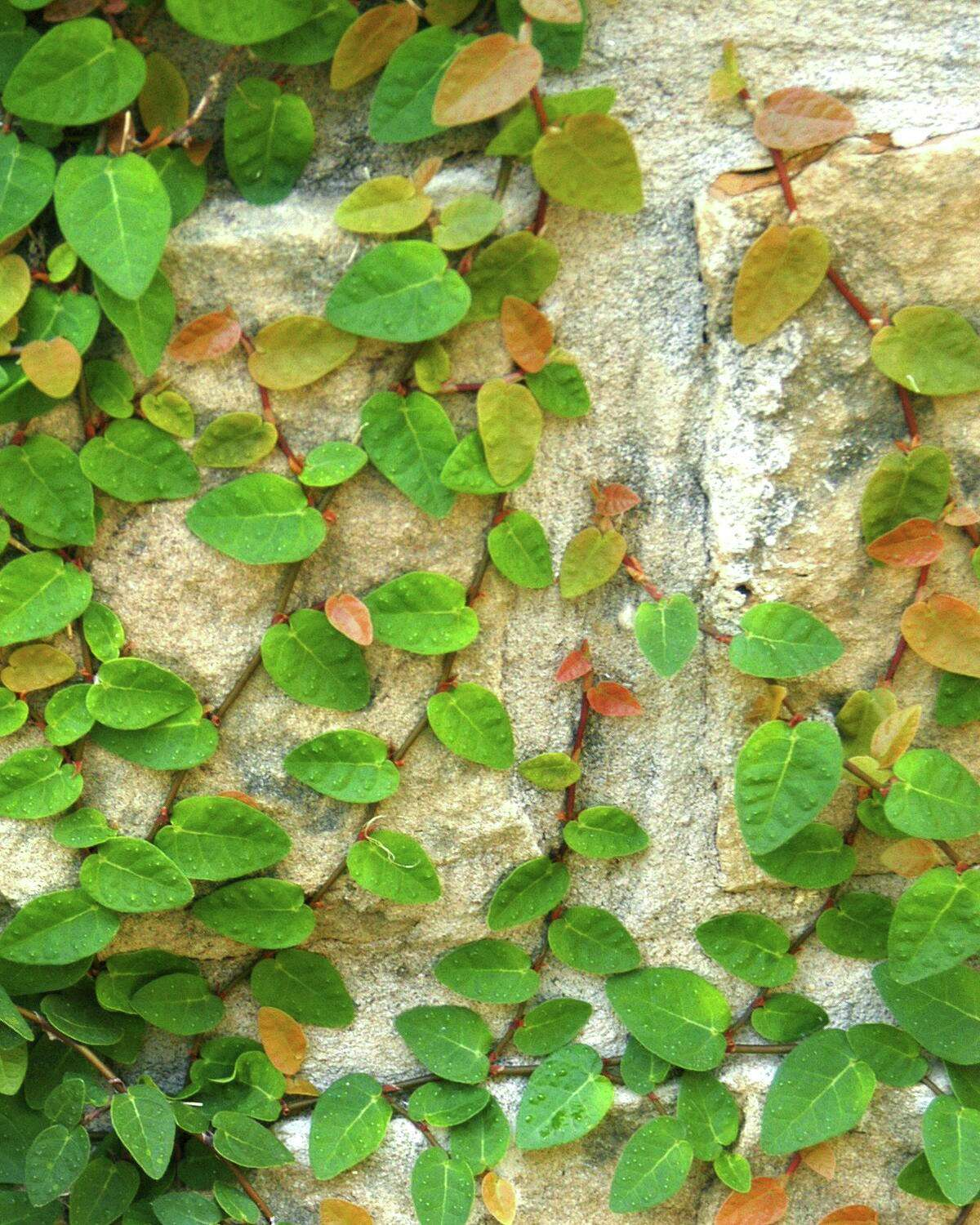 The hugging vines like fig ivy, English ivy and Boston ivy (curiously, all unrelated) do nothing to pull brick, stone or mortar apart.
