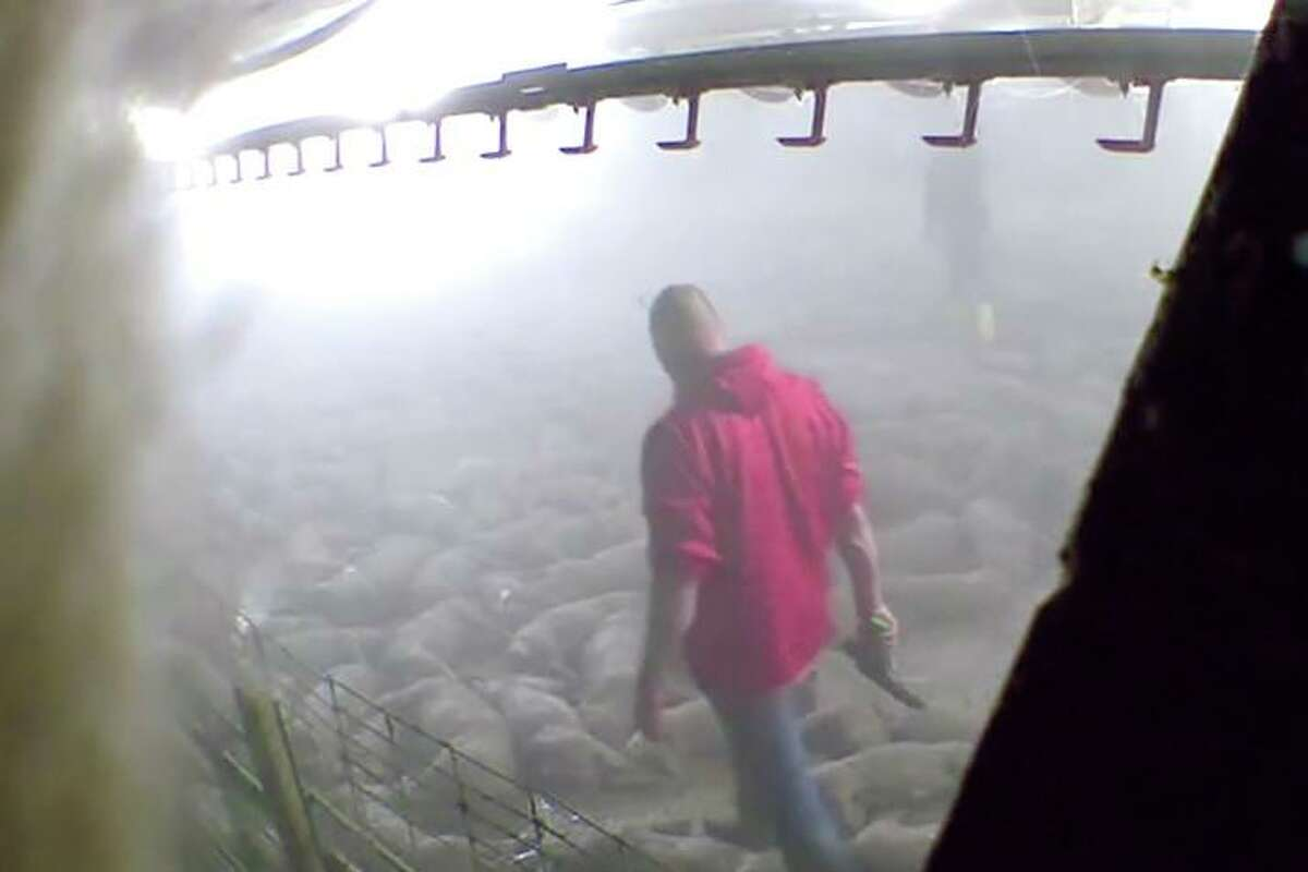 FILE - This image taken from a May 19, 2020, video provided by Direct Action Everywhere, shows workers in Grundy County, Iowa, walking among carcasses and using bolt guns to kill pigs that remain alive after they had been exposed to heat in an effort to euthanize the animals. Matt Johnson, an activist with the group Direct Action Everywhere, had been scheduled to stand trial Monday, Feb. 1, 2020, in Grundy County, Iowa, on two counts of trespassing at Iowa Select Farms properties. County prosecutors dismissed the charges Thursday, Jan. 28 at the request of Iowa Select, whose personnel had been subpoenaed to testify. (Direct Action Everywhere via AP)