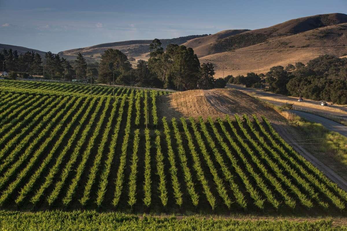 Pinot noir vineyards along Highway 101 are viewed on July 7, 2018, near Santa Maria, California.
