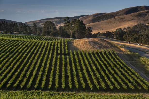 SANTA MARIA, CA - JULY 7: Pinot noir vineyards along Highway 101 are viewed on July 7, 2018, near Santa Maria, California. Because of its close proximity to Southern California and Los Angeles population centers, combined with a Mediterranean climate, the coastal regions of Santa Barbara have become a popular weekend wine getaway destination for millions of tourists each year. (Photo by George Rose/Getty Images)