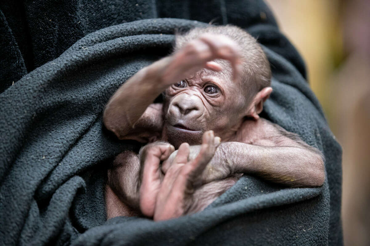 Woodland Park Zoo welcomes new baby gorilla
