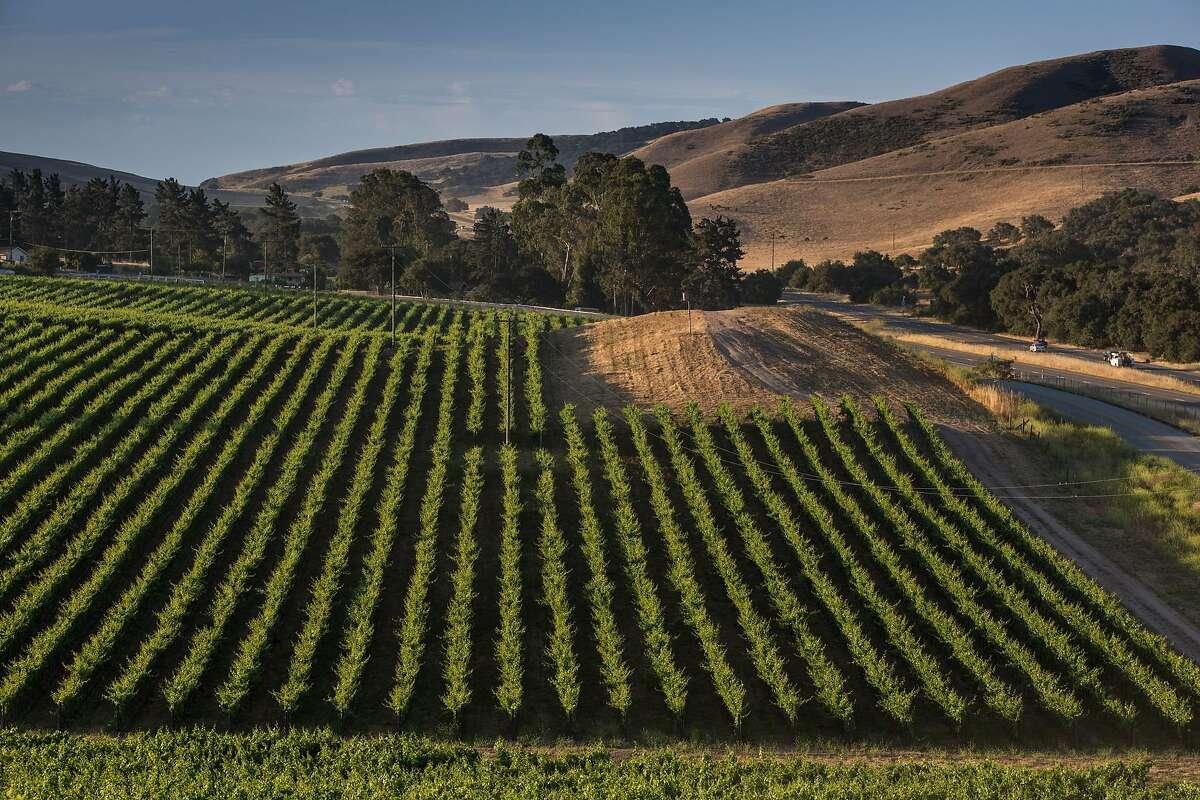 Pinot Noir vineyards along Highway 101 near Santa Maria are part of northern Santa Barbara County's wine-producing region.
