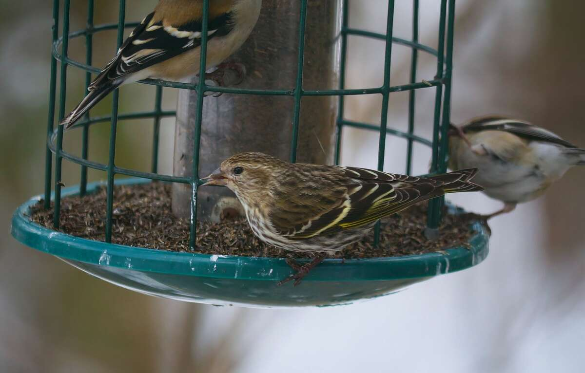 A pine siskin (Carduelis pinus) and a goldfinch at a bird feeder in southern Wisconsin in Winter.