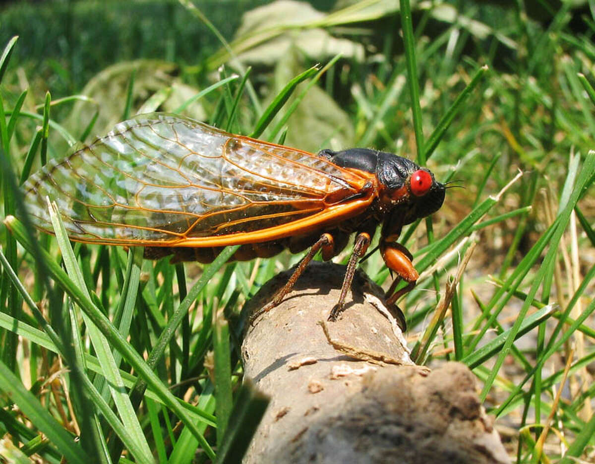 A species of cicada which spawns every 17 years in massive swarms is set to return in 2021.