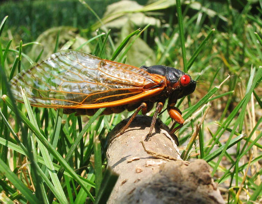 A species of cicada which spawns every 17 years in massive swarms is set to return in 2021. Photo: Courtesy Photo/Jim Lane/Wiki