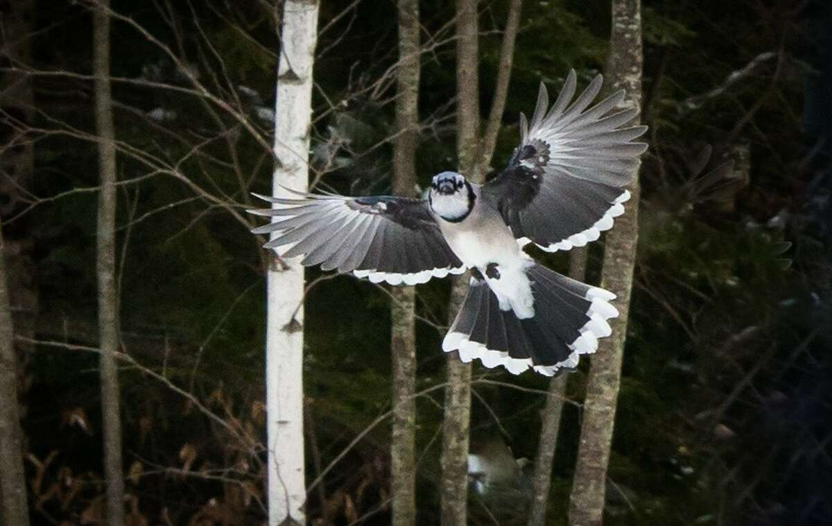 At our feeder, a jay prepares for his landing. Nick Partrick of Corinth