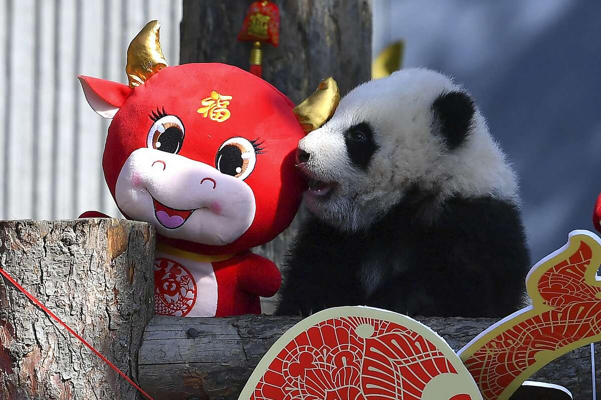 A baby panda climbs on a display for the upcoming Lunar New Year of the Ox at the China Conservation and Research Center for the Giant Panda at the Wolong Nature Reserve in southwestern China's Sichuan province, Wednesday, Feb. 3, 2021. Ten baby pandas made their debut in China's leading panda reserve in the country's southwest on Wednesday morning ahead of the Lunar New Year. (Chinatopix via AP)