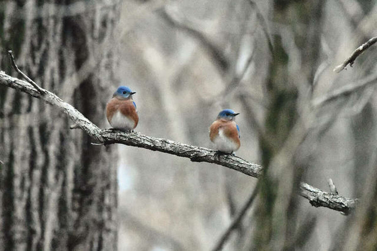 Bluebirds add a pop of color to an otherwise gray winter day.