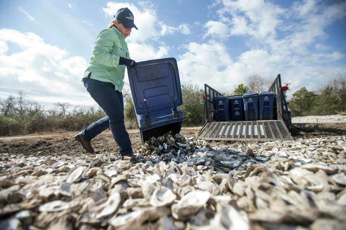 Shannon Batte, habitat restoration technician for the Galveston Bay Foundation, dumps out oyster shells to be decontaminated by the sun Wednesday, Feb. 3, 2021 in Pasadena. The foundation helped build three oyster reefs in Galveston Bay to support the oyster population, hard-hit by storms. Starting this week, the reefs were officially closed off so oysters can grow. After 21 months, two will be opened for oysters to be harvested. The goals is to try to show that there is a more sustainable model for oyster harvesting, with conservation built in.