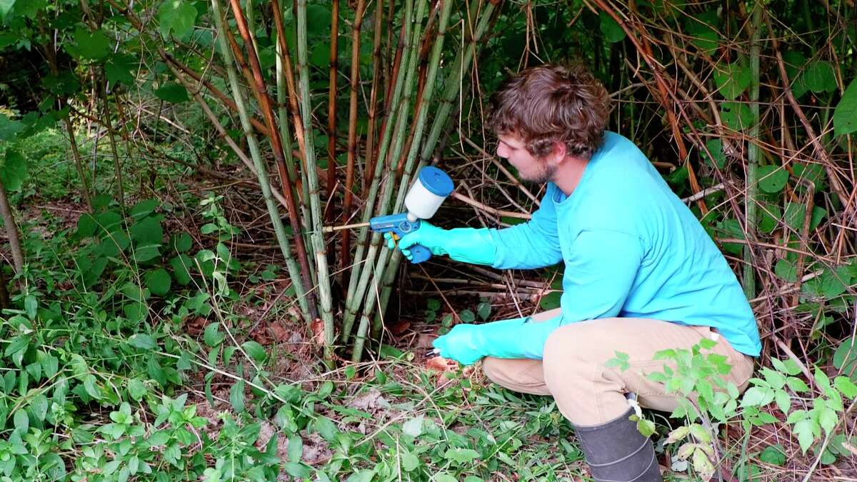 A member of the North Country Cooperative Invasive Species Management Area Strike Team is pictured treating a Japanese Knotweed. (Photo courtesy of Emma Costantino, NCCISMA)