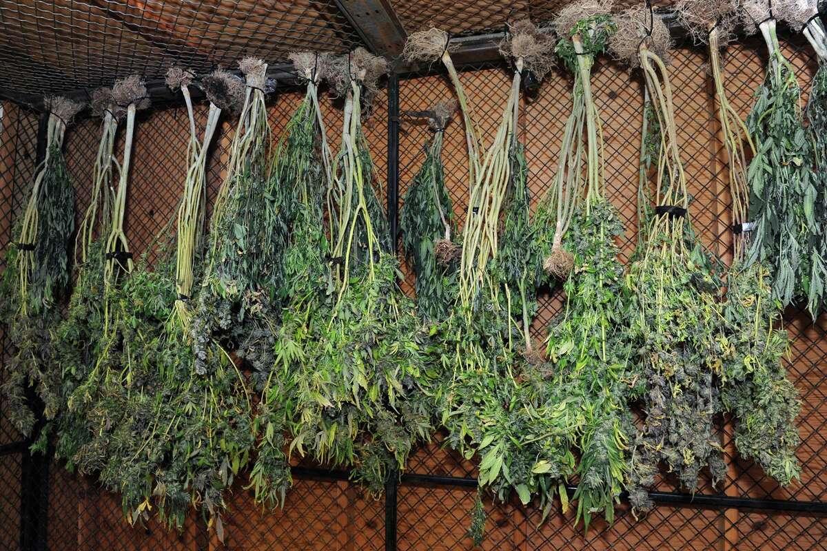 Marijuana plants seized in a Bridgeport police raid in 2016.