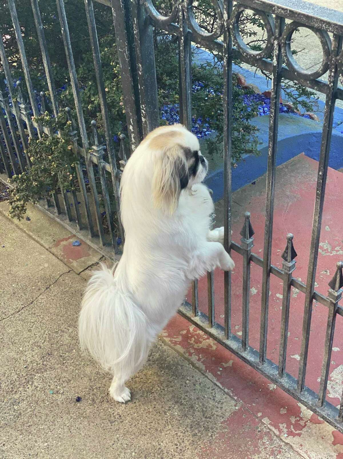 Queenie Fisher-Paulson stands guard at the back gate of the Blue Bungalow, ready to bark at any animal that sets paw near Chronicle columnist Kevin Fisher-Paulson's home.