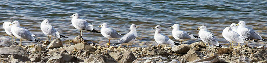 A group of gulls decided to stand in a line Tuesday like they were getting ready to go for a march along the banks of the shallow waters inside the Riverlands Migratory Bird Sanctuary.