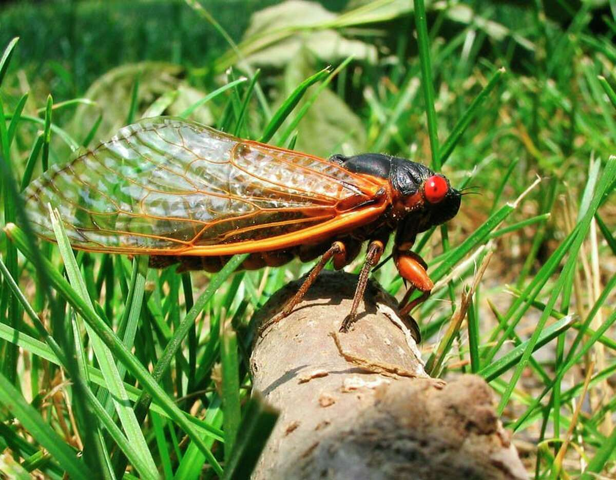A species of cicada which spawns every 17 years in massive swarms is set to return in 2021. (Courtesy photo/Jim Lane/Wiki)