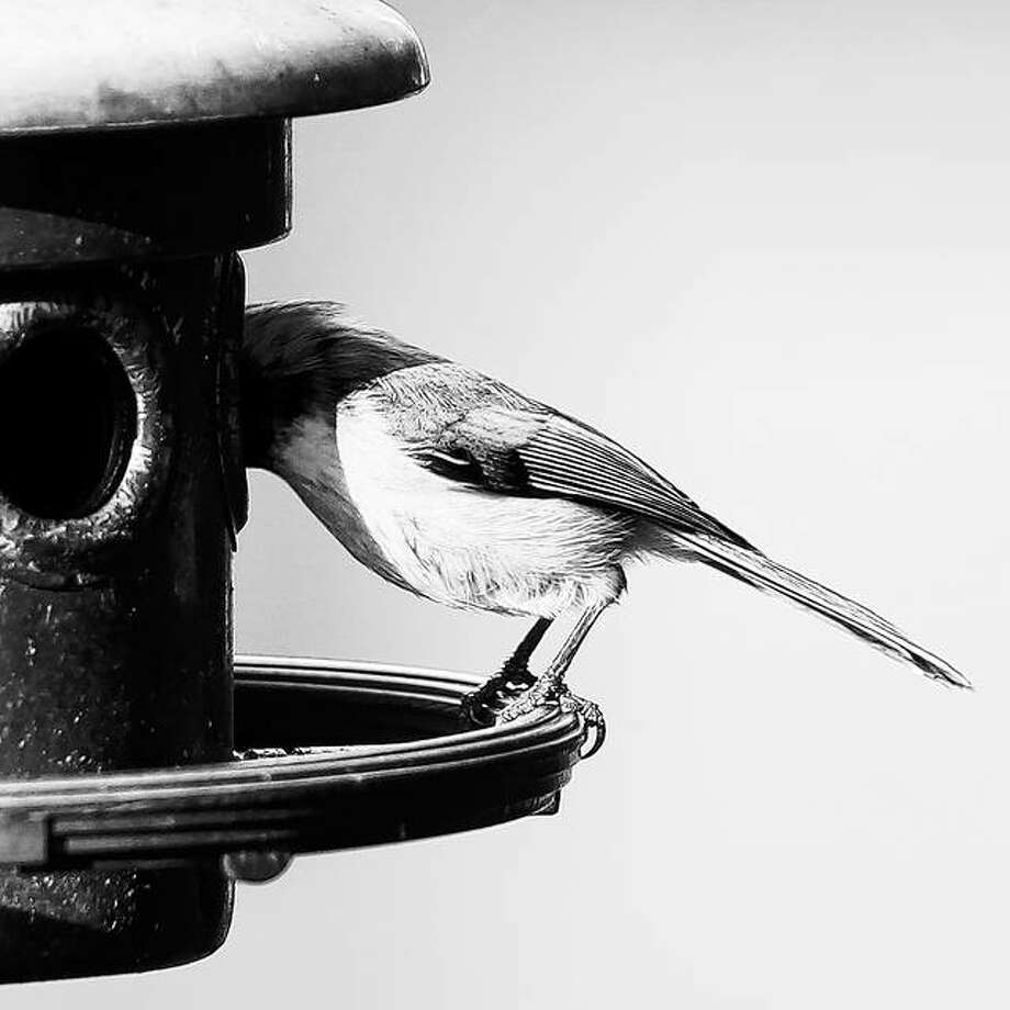 A chickadee grabs a bite from a backyard feeder in Jacksonville before flying away. Don't forget about your neighborhood birds as temperatures plunge this week. Photo: Dennis Mathes | Journal-Courier