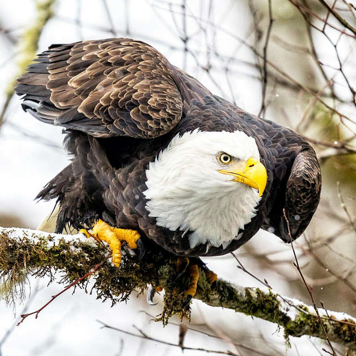 While eagles are more around during the winter, the Audubon Center at Riverlands offers a chance to hike near the Great Rivers and see the native species of birds from around the Riverlands. The Migratory Bird Sanctuary center is open 8 a.m. to 4 p.m. on Tuesdays through Saturdays and the sanctuary is open from sunrise to sunset.