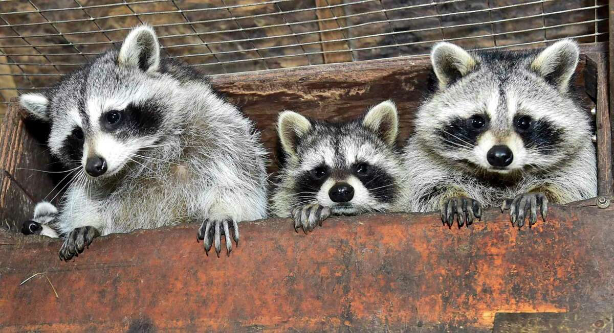 Eunice Demond of Guilford, a state permitted and regulated raccoon rehabilitator, has for years cared for rescued raccoons in comfortable and safe state regulated enclosures in her backyard, preparing them to be reintroduced back into their habitat.