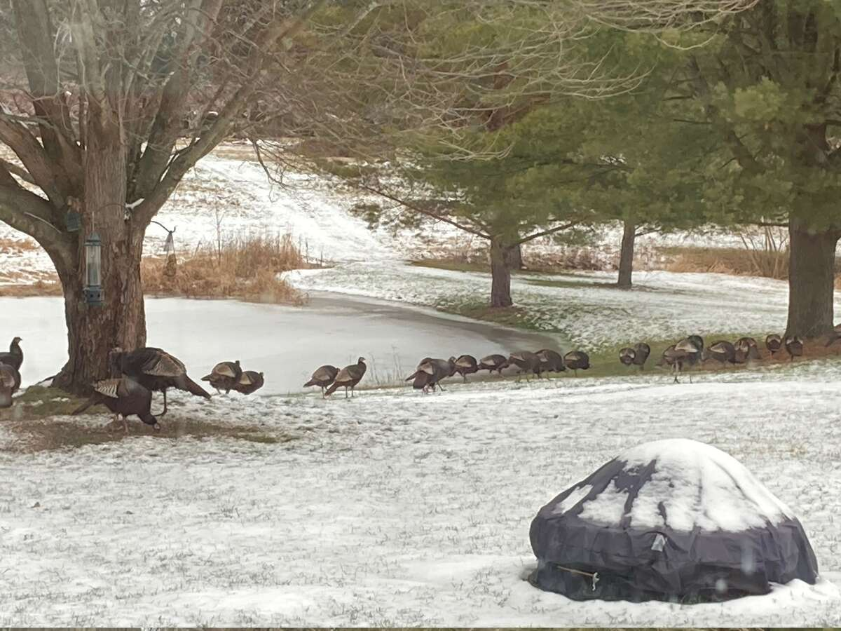 Bob and Mary Anne Pollack of Ballston Lake. Parade of the turkeys looking for food at the bird feeder in our back yard.