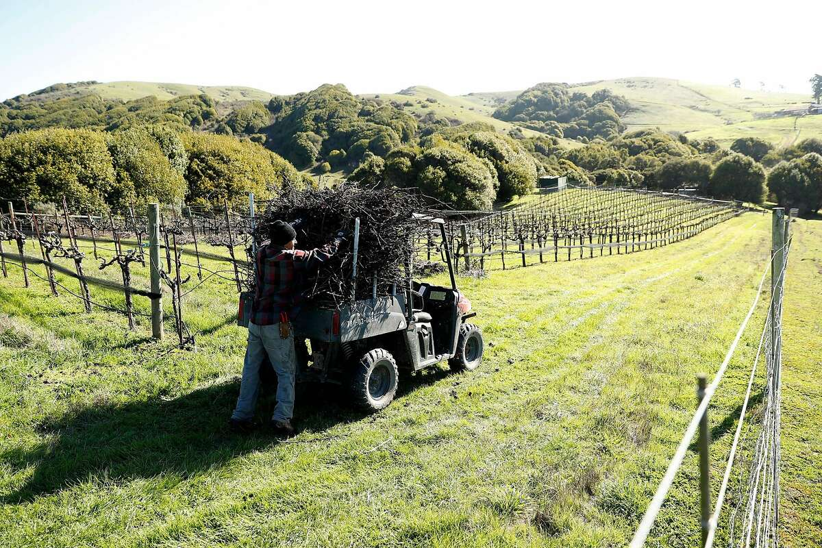 Vineyard manager Federico Garcia cleans up cuttings from vine pruning.