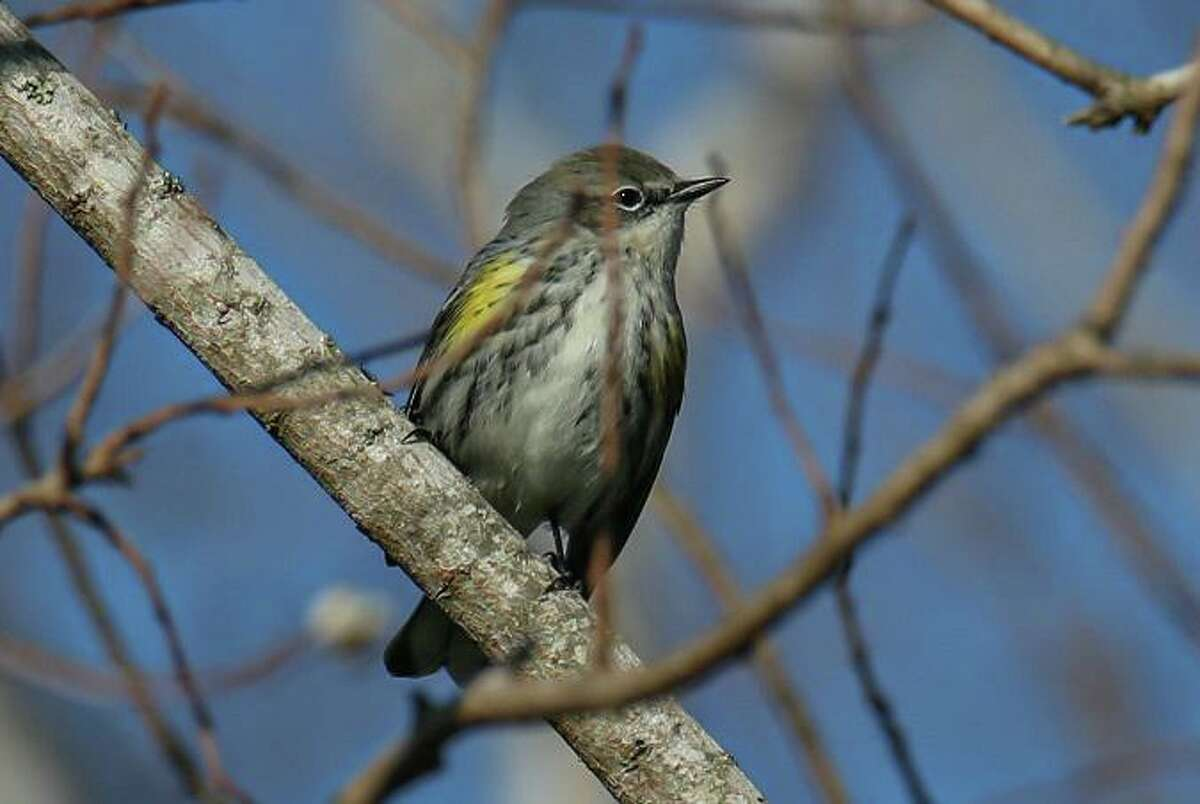 Species such as the yellow-rumped warbler can be seen in League City. City officials want to spread word about the diversity of bird life in the community to attract avid birdwatchers.