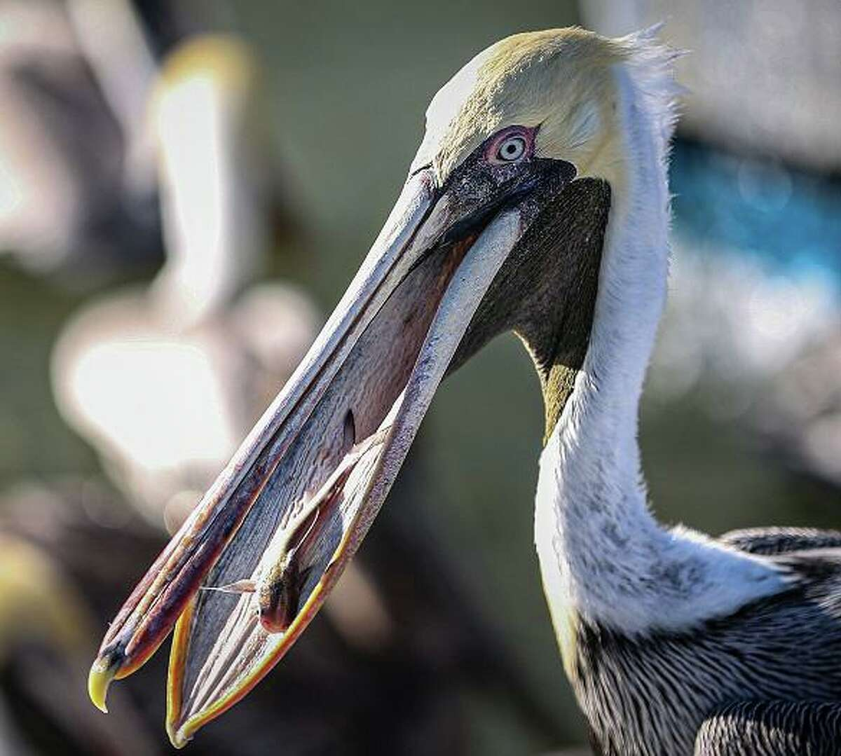 Water birds such as the brown pelican are drawn to Clear Lake and Clear Creek in League City.