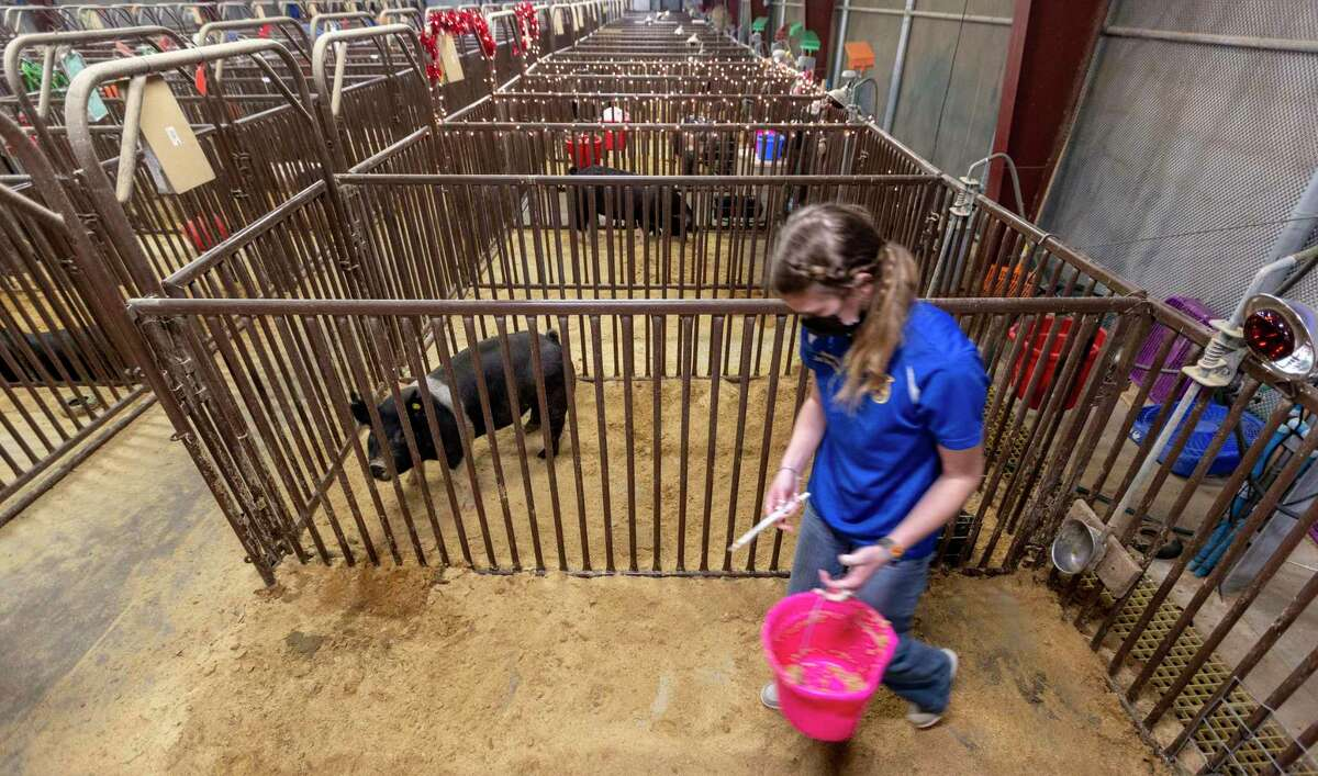 Emalee Burt feeds her pigs Tuesday at the North East ISD swine barn a day before taking them to the San Antonio Livestock Show.