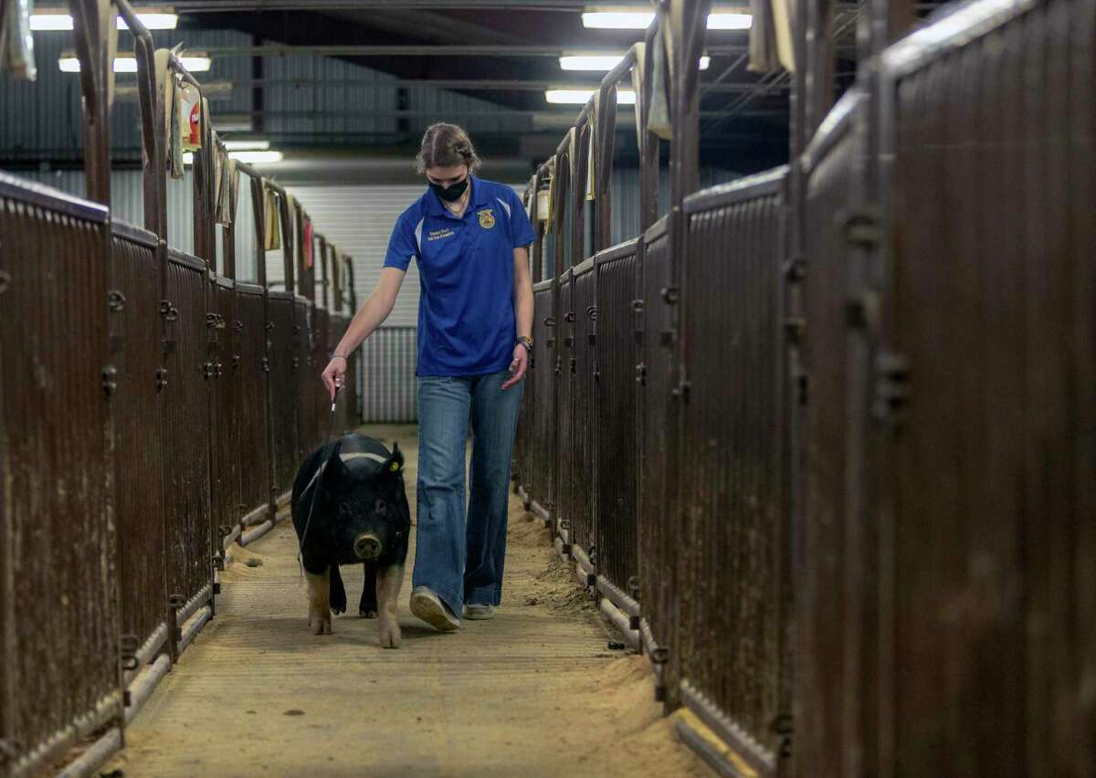 Emalee Burt walks her Hampshire pig Tuesday in the NEISD Agriscience Magnet Program's swine barn. She says she juggles a full-time job, her school courses and FFA involvement. The job pays for her three pigs' feed, cleaning supplies and other expenses.