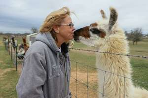 Susan Leslie gives a kiss to Jazzy, a 3-year-old female llama, at Leslie Lane Farm in Seguin. Leslie has 60 llamas, which welcome visitors as well as visit schools, nursing homes and other sites.
