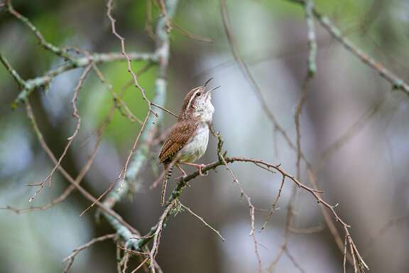 A Carolina wren's song is loud enough to be heard by his female across the street.