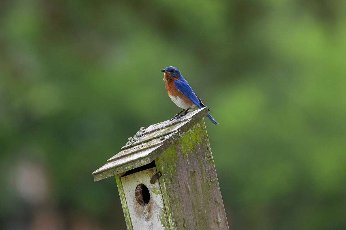An male eastern bluebird sings from the top of his nest box. His song assures his female that he has staked out territory with a plentiful food supply for her chicks.