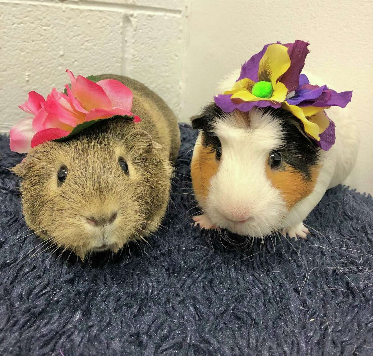 When you're best buds, you always want to be together. That's the case for Frieda and Peach, two guinea pig gal pals. They're both 2 years old, and since they're a bonded pair, they need a new home together. The staff veterinary team at the Connecticut Humane Society found that Peaches had a medical issue, but she's feeling better now after receiving an x-ray and some medication. Frieda waited patiently for her friend to recover, and now they're both ready for adoption. Just like any other pet, guinea pigs need lots of time with their humans every day, and enjoy having a wide open space for exploring, such as a penned-in area of a room. Visit CThumane.org/adopt to learn more. An online application can be found in each pet's profile.