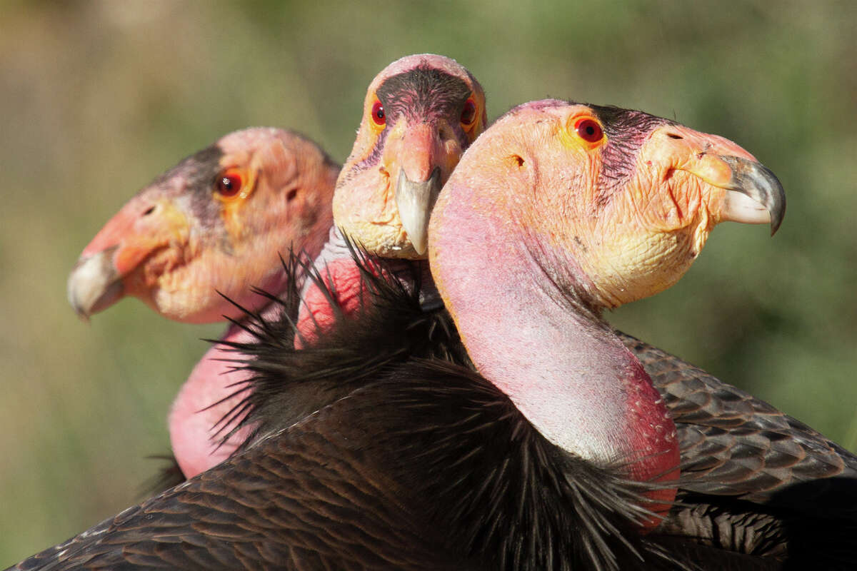 A condor trio formed in 2015, with 534 in the back left, 204 in the middle and 470 in the front. They successfully had a chick, 842, in 2016.