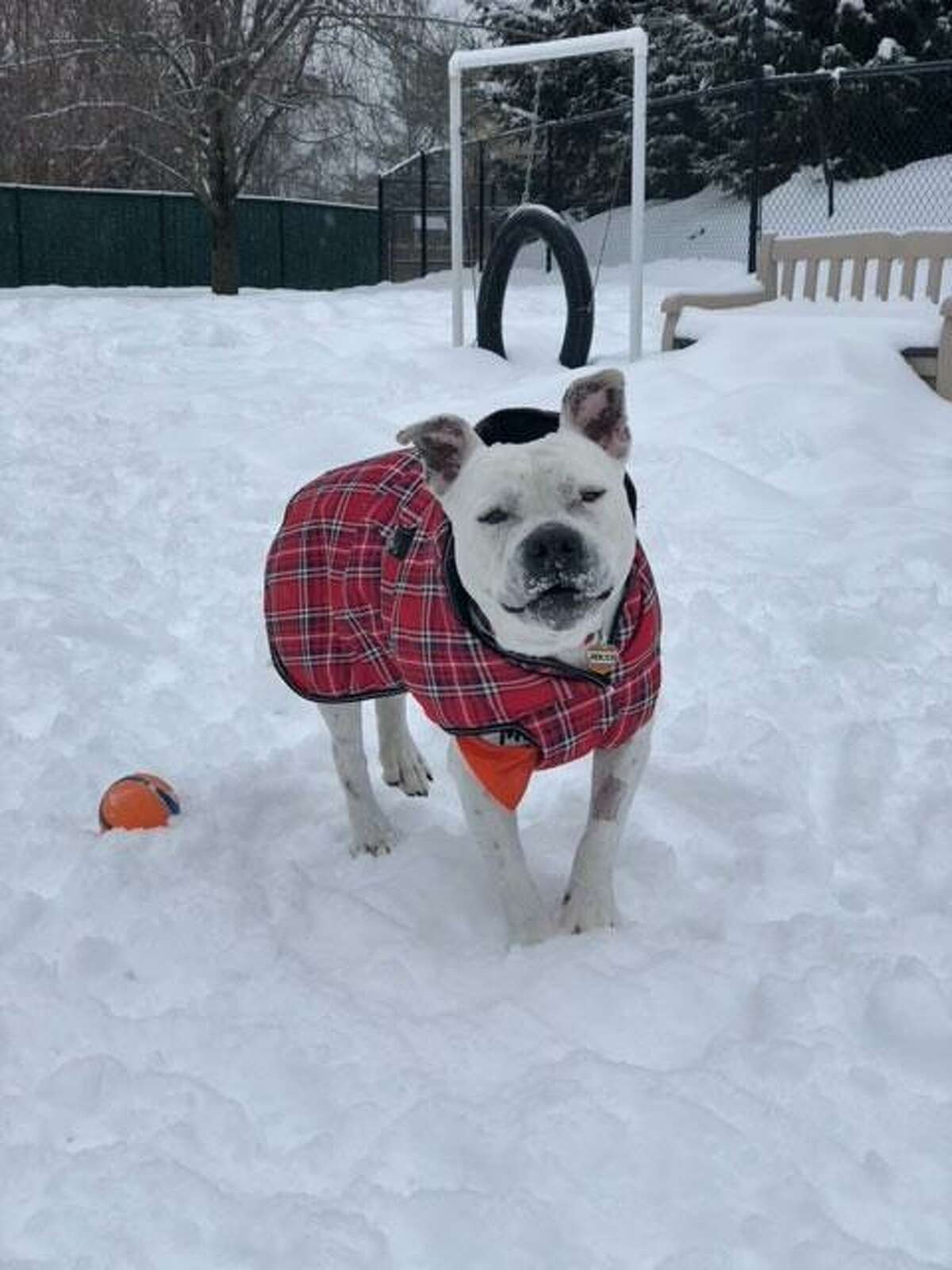 Jericho is a bulldog mix who needs a forever home. He is available to meet by calling the ROAR Donofrio Family Animal Shelter, 45 South Street, in Ridgefield, at 203-438-0158, for an appointment.