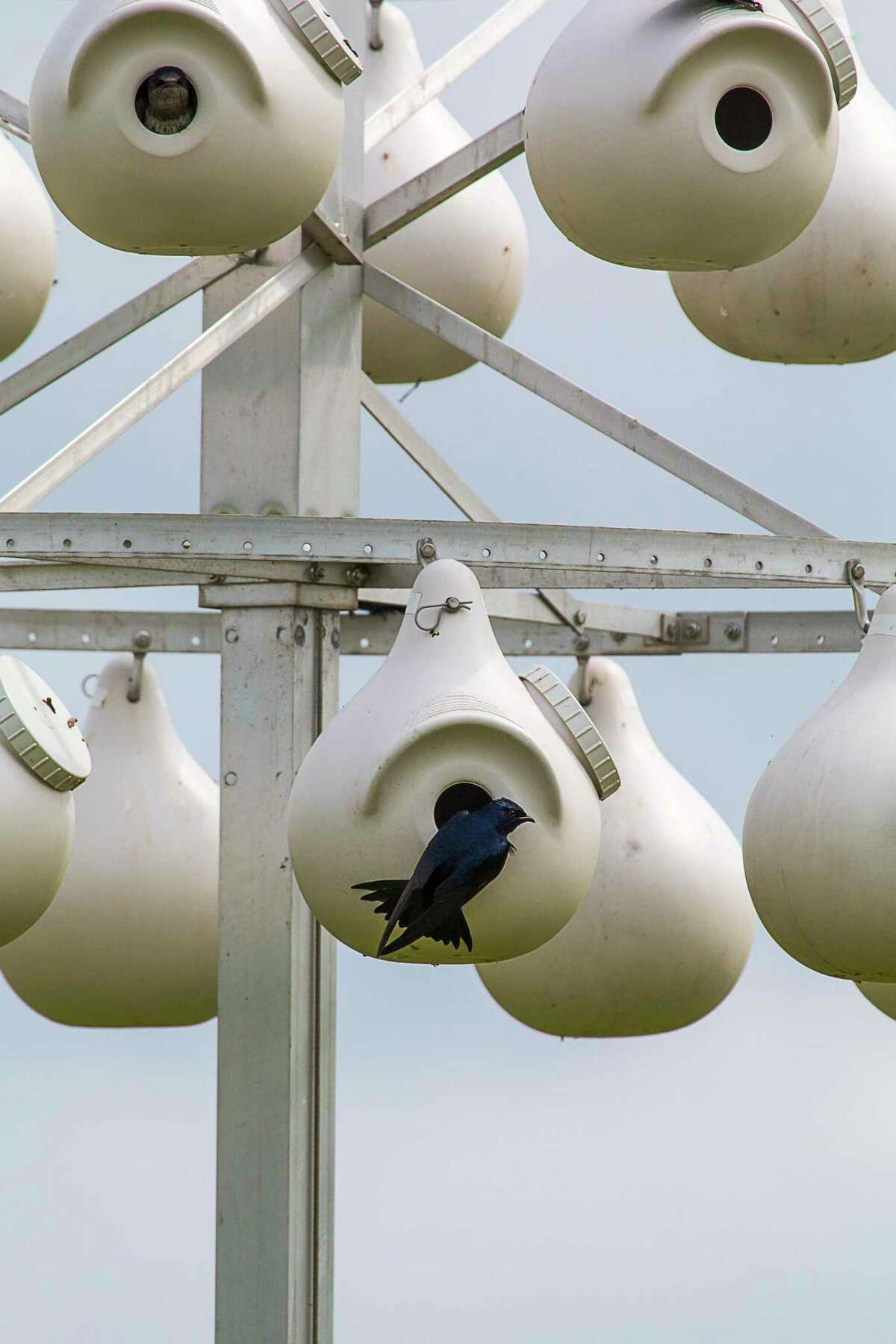 It is hard for many of us to fathom given the past week's severe winter weather, but purple martins are back in San Antonio.