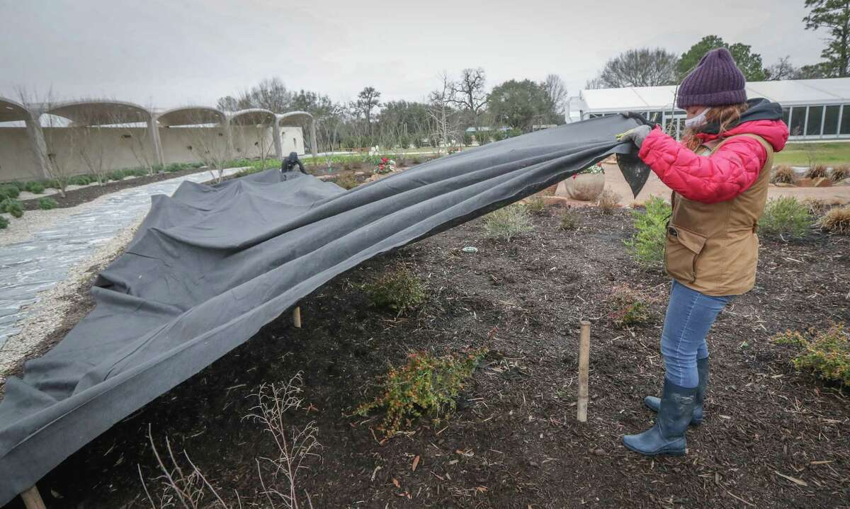 Houston Botanic Garden horticulture assistants Jessica Henry and Jamee Moulton pull a tarp to cover an area of Golden Lace plants Thursday, Feb. 11, 2021, in Houston. The Houston Botanic Garden staff will spend Friday making sure all the plants have some shelter from the extreme cold that will keep them cover for about a week.