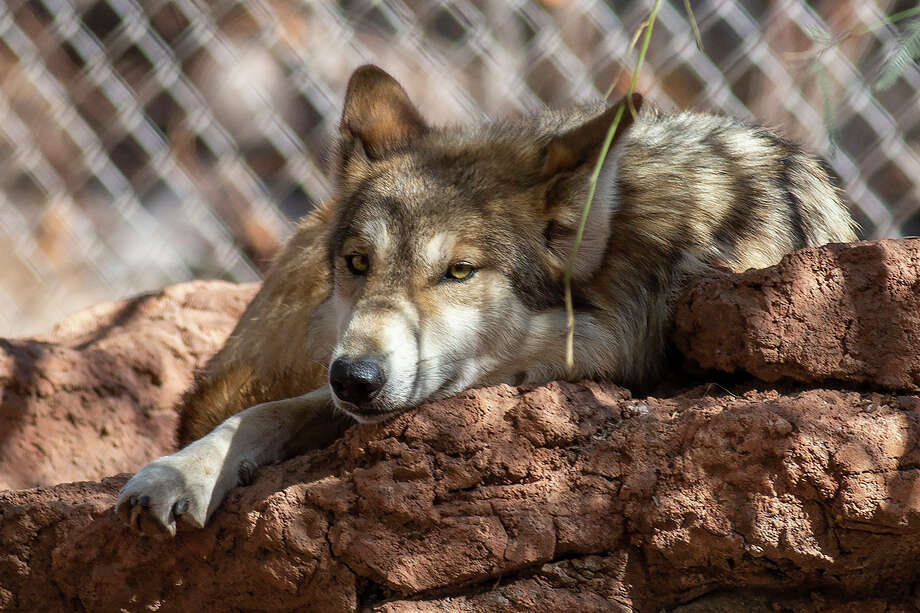 In this photo provided by the Phoenix Zoo, Jade, a female Mexican gray wolf rests in an enclosure on Feb. 4, 2021. One pack of Mexican gray wolves is now two, with three sisters remaining at the Phoenix Zoo while their two parents and three male offspring are now in Texas after being moved to the El Paso Zoo as part of a cooperative program to continue recovery of the endangered predators. (Phoenix Zoo via AP) Photo: AP