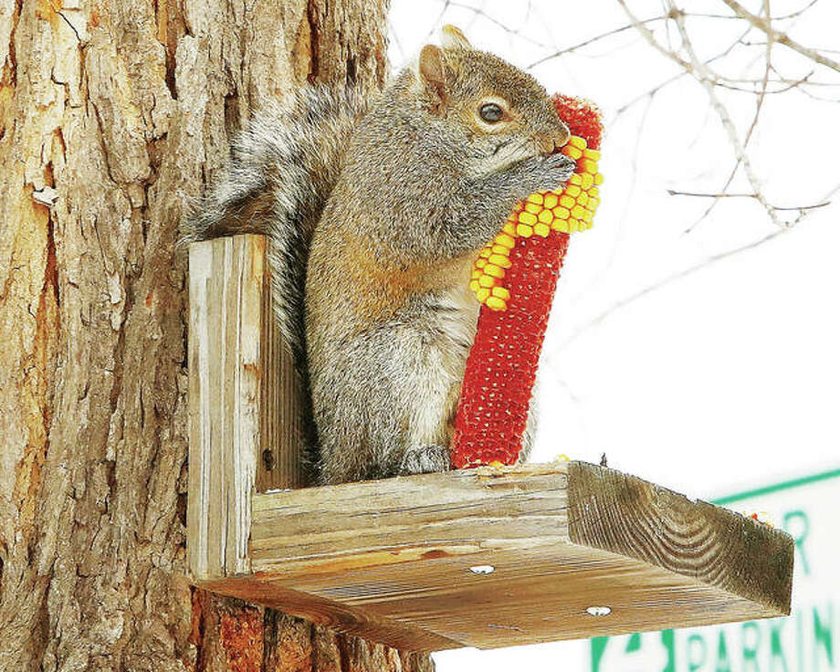 The cold weather has been hard on anyone or anything out in it, including wildlife. A squirrel, with his back against a tree to block the wind, had a corn meal Wednesday on Henry Street.