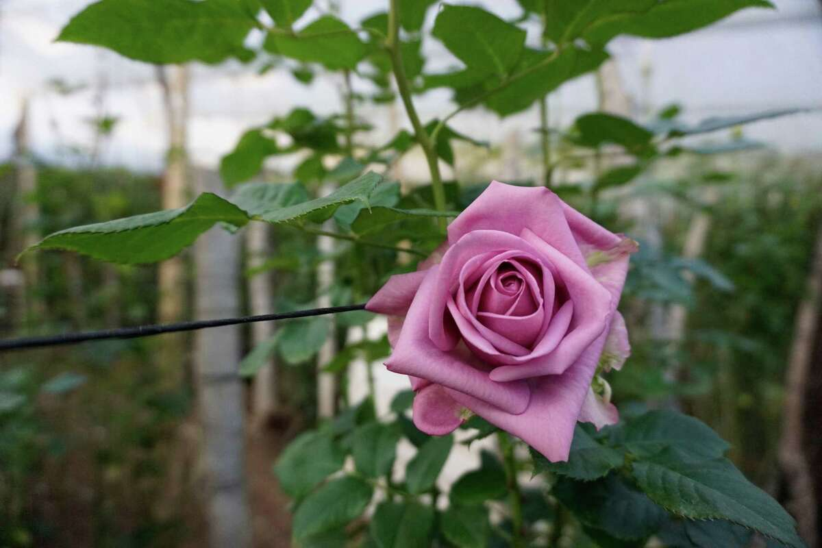 A rose is seen ahead of Valentine's Day at the Rosas Maya Kotzij Cooperative in Loma Alta village, San Juan Sacatepequez, Guatemala, on February 12, 2021.