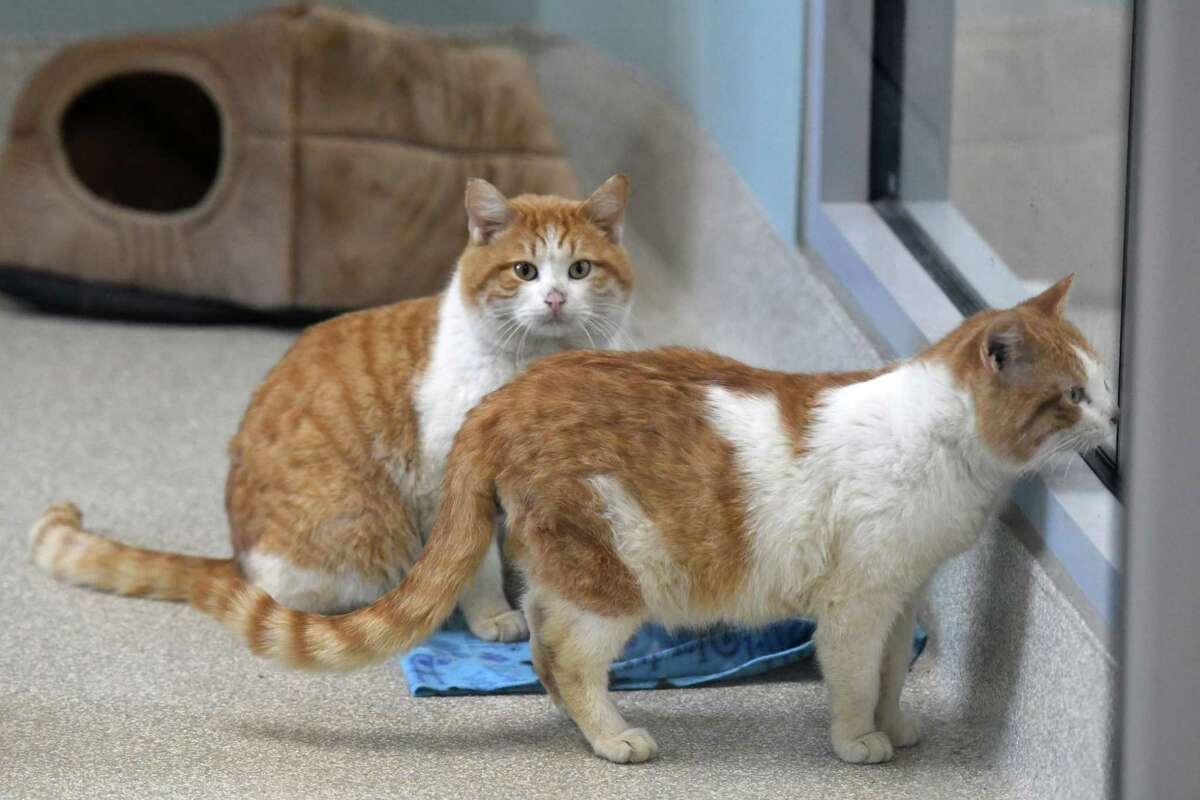 Cats seized from a North Greenbush farm are cared for at the Mohawk Hudson Humane Society on Friday, Feb. 12, 2021, in Menands, N.Y. (Will Waldron/Times Union)