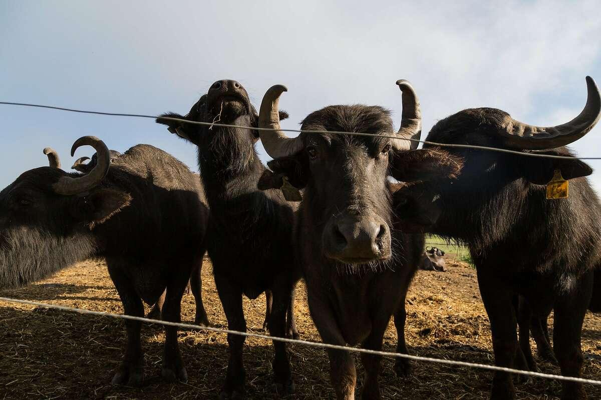 Water buffalo, whose milk is used to make Italian style mozzarella di bufala, at the Ramini facility in Tomales. The buffalo have rock star names like Pat Benetar, Van Morrison, and Chris Isaac.