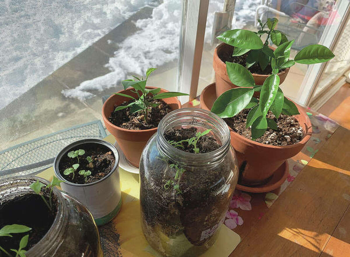 Vegetable seedlings and citrus plants appear in pots, jars and cans on a ledge inside a house.