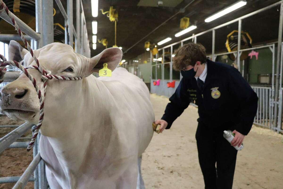 Katy High School junior Lance Nicholas is looking forward to showing his steer in the 78th Annual Katy Independent School District Livestock Show.