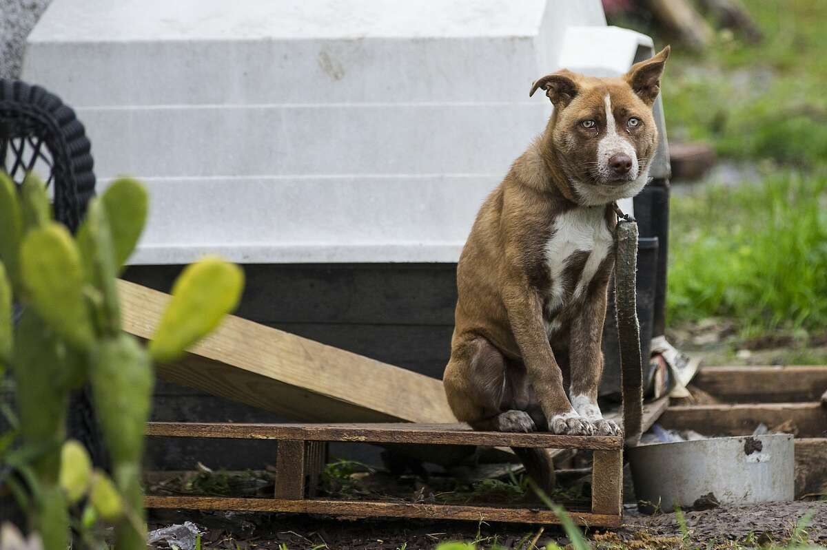 A dog sits on a wooden pallet outside a house that SPCA investigators came to check on while doing an animal welfare check Saturday, Feb. 13, 2021 in Houston. With frigid temperatures forecast in Texas and the Houston area, the SPCA investigators made their rounds to various parts of the city to check on animals and their well being, and to also give out blankets and give animal owners tips on keeping their animals from the freezing weather.
