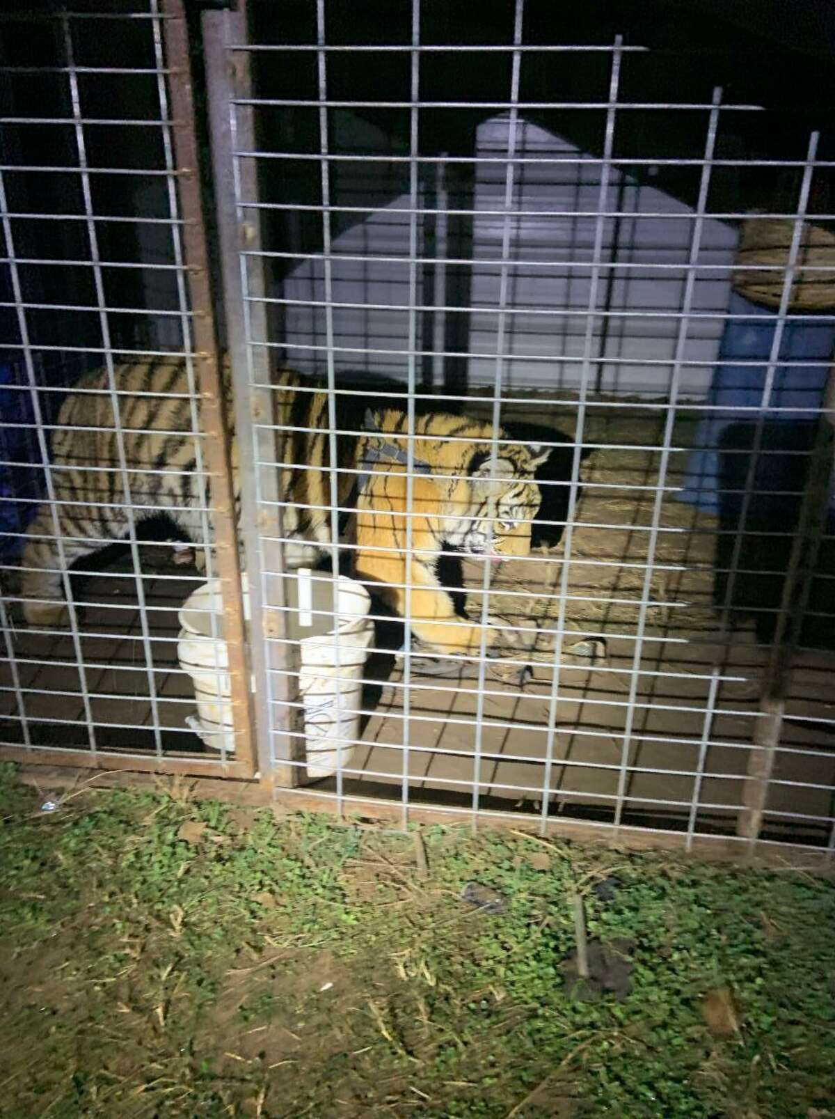 A caged tiger in Southwest Bexar County was rescued Saturday evening.