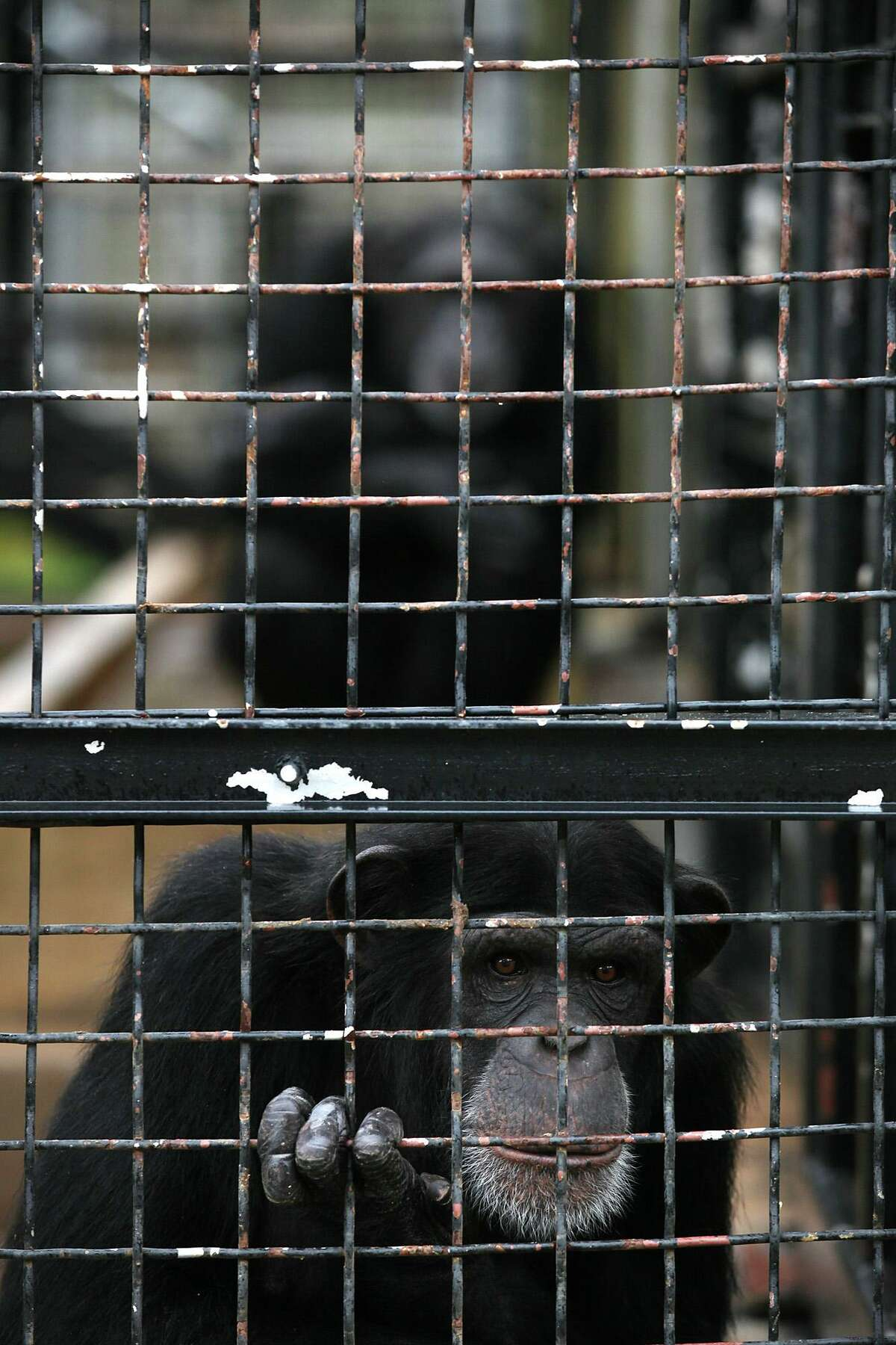 Chimpanzees hang out in an enclosure at Primarily Primates, a nonprofit sanctuary that takes in animals from research centers, on Dec. 15, 2011. A chimpanzee, several lemurs, monkeys and other primates died Monday after the facility lost electricity and temperatures dipped into the low teens.