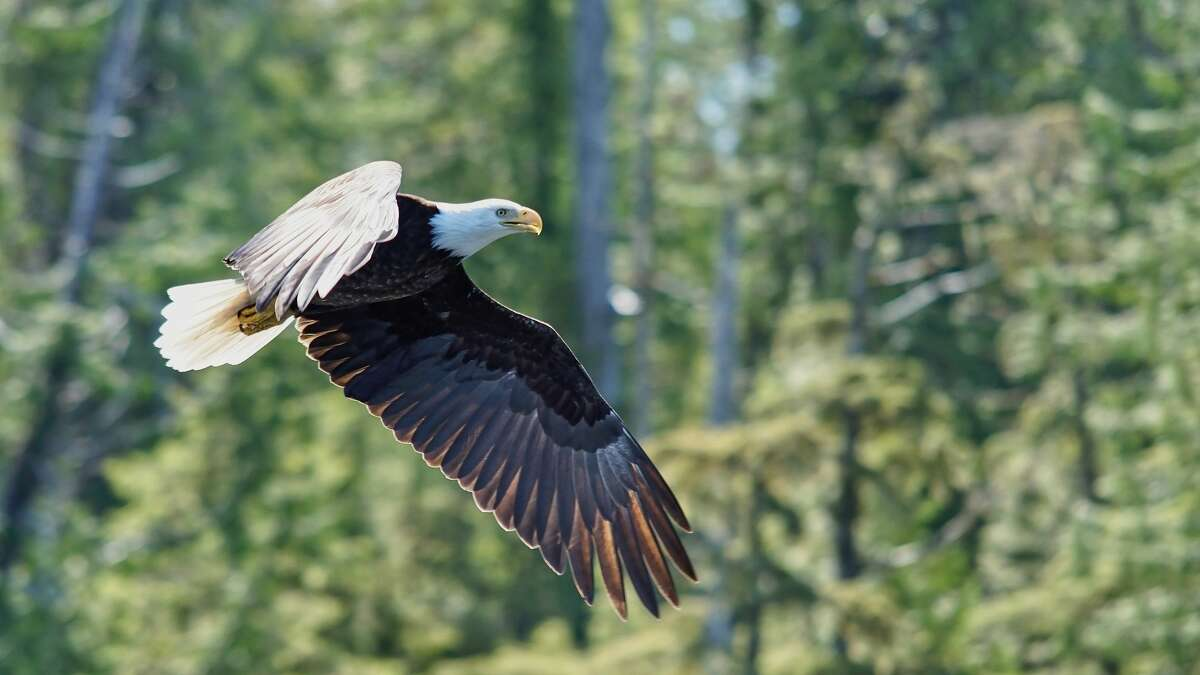 Photo of a bald eagle taken in Ketchikan, Alaska.