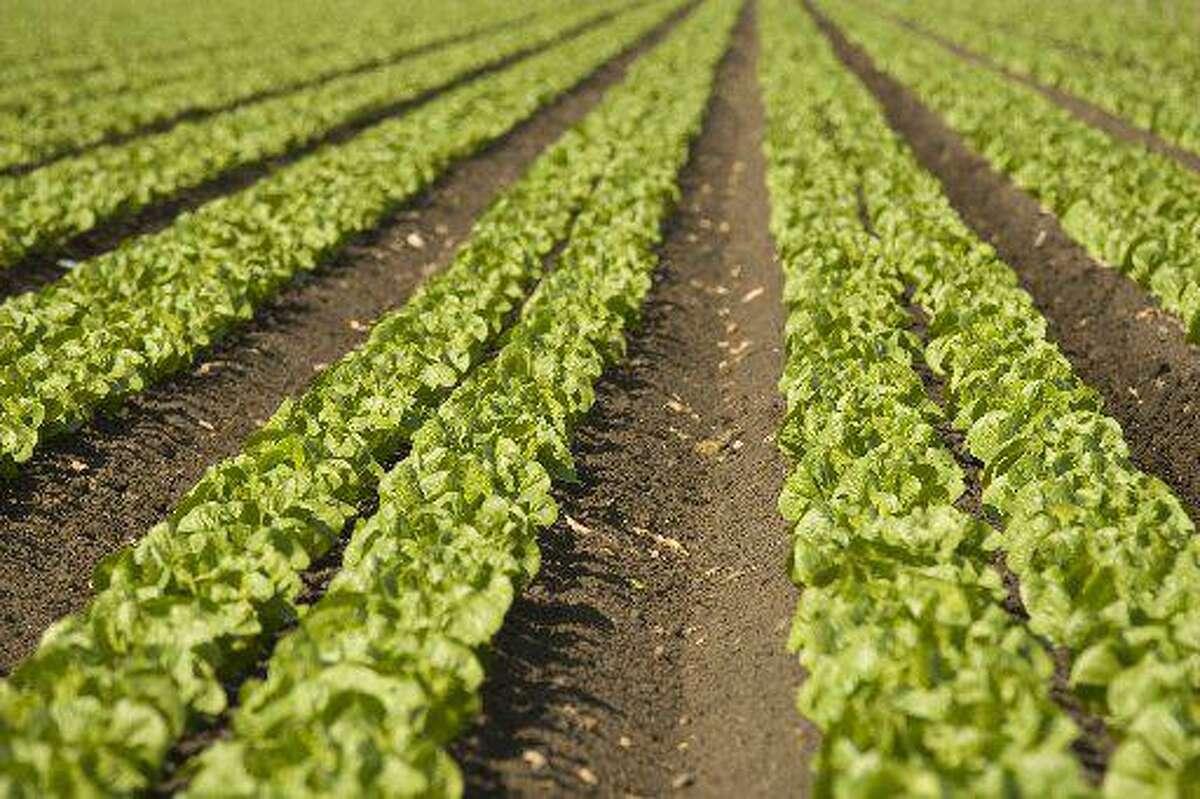 A field of greens growing near Salinas, California