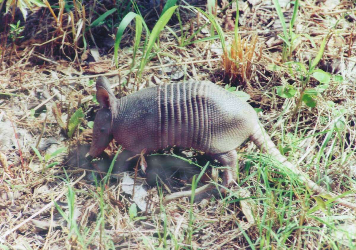 This baby armadillo was found in the Huntsville State Park and is only one of the many animals one my see in our nearby state parks.